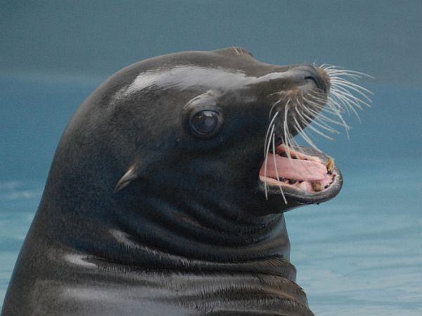Morski lev Kalle