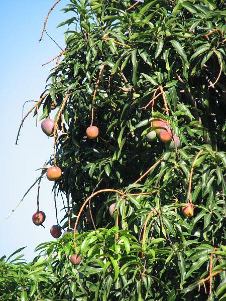 Mangovo drevo